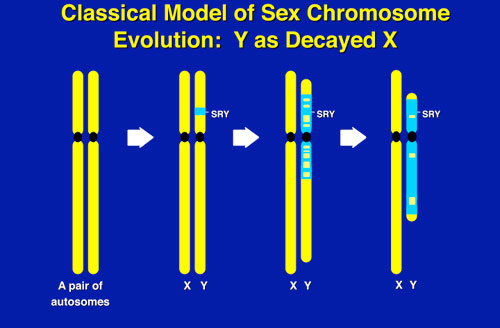 Figure 5: Evolution of Y chromosome from what was originally a pair of ordinary autosomes 300,000,000 years ago.