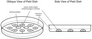Petri dish set-up for IVF culture in microdroplets under perfect conditions that would ideally be found in your own fallopian tube and uterus.