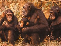 Chimpanzees have sperm competition in their mating pattern.