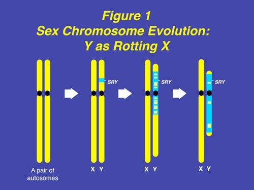 "Figure 1: The Y chromosome evolved over 300 years from what was originally just an ancestral pair of ordinary chromosomes, with degeneration of its X homologous genes and recruitment of ""male benefit"" genes."