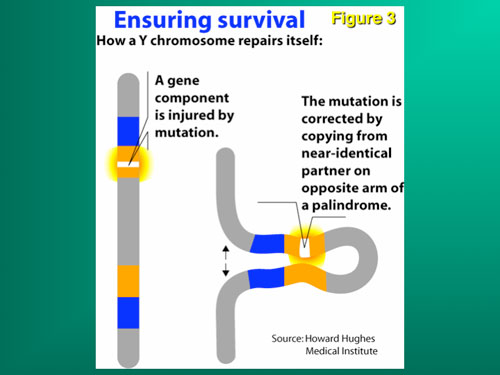 Figure 3: The Y chromosome cannot repair itself by ordinary meiosis with its homologous mate, and therefore has to try to recombine with itself (gene conversion).