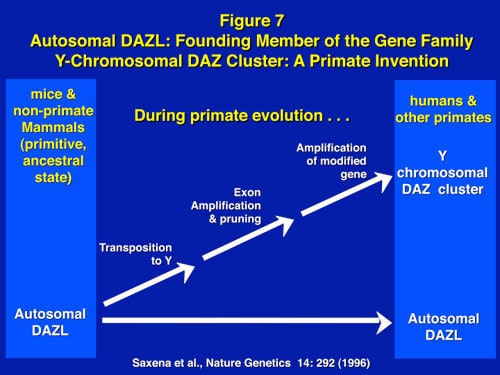 "Figure 7: The DAZ gene on the Y is an example of a ""male benefit"" gene which transposed from its ancestral position on human chromosome 3, 30 million years ago, to the Y where it was amplified four-fold with multiple copies."