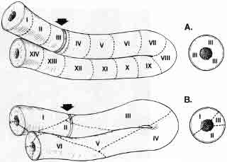 Figure 4A, The upper figure demonstrates the orderly wave of spermatogenesis seen in virtually all animals except the human, whereby a cut through any particular seminiferous tubule will show only one distinct stage of spermatogenesis. B, The lower figure demonstrates the scattered mosaic arrangement of the various stages of spermatogenesis in humans, which does not proceed in an orderly wave down the tubule. Inset shows cross-section.