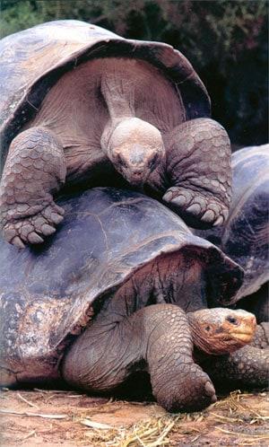 giant-tortoises-mating.