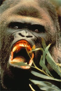Gorillas have no sperm competition in their mating system.