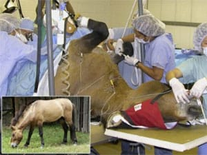 Dr. Silber performs vasectomy reversal at the Smithsonian National Zoo on a rare Przewalski's horse.