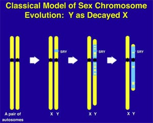 Supplimental Figure 3. Evolution of Y chromosome from what was originally a pair of ordinary autosomes 300,000,000 years ago.