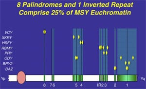 Supplimental Figure 4. All ''male-benefit'' spermatogenic genes on the Y chromosome have accumulated in ampliconic regions of repeat DNA sequences and inverted repeat DNA sequences (8) (references are as provided in the original print article).