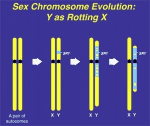 """Figure 1. The Y chromosome evolved over 300 years from what was originally just an ancestral pair of ordinary chromosomes, with degeneration of its X homologous genes and recruitment of """"male benefit"""" genes."""