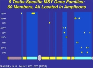 Figure 8. All nine testis specific spermatogenesis gene families in the Y exist in the ampliconic multiple (60 members) copy sequences.