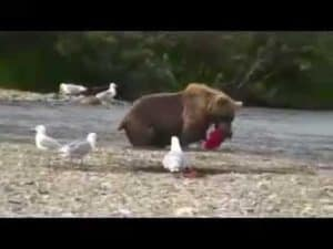 Playing with the Grizzlies Before Pebble Mine Destroys our Wilderness
