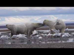 Polar Bears and Glaciers 2016