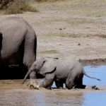 silber video baby elephant in africa